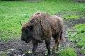 Free Big Buffalo Walking Royalty Free Stock Photo - 14450225