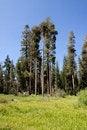 Free Tall Trees Royalty Free Stock Photos - 14452868