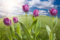 Free Purple Tulips Over Grass Field And Sky Stock Photography - 14453442