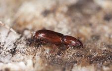Free Wood Living Beetle. Stock Photo - 14450100