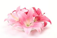 Pink Lilies Royalty Free Stock Photos