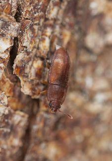 Free Wood Living Beetle. Stock Photography - 14450152