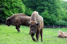 Three Big Buffalo On The Field Royalty Free Stock Images