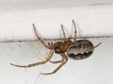 Free Small Spider Sitting On Wall. Royalty Free Stock Images - 14450319
