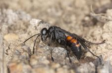 Free Parasitic Wasp (Anoplius Viaticus) Royalty Free Stock Photography - 14450347