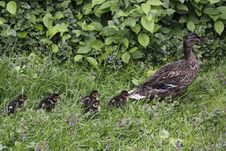 Wild Duck With Her Juveniles