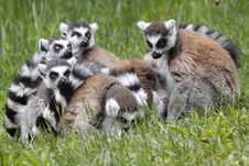 Free Group Of Ring-tailed Lemurs Royalty Free Stock Photos - 14450468