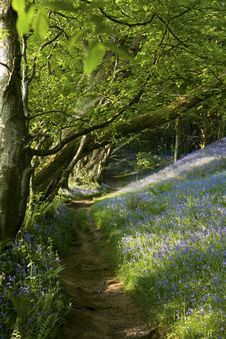 Free Bluebell Path, England Royalty Free Stock Photography - 14450847