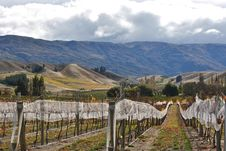 Free Vineyard In New Zealand Stock Photography - 14451152