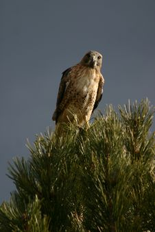 Hawk In Rocky Mountain National Park Stock Images