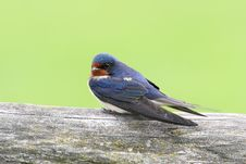 Free Barn Swallow Royalty Free Stock Photos - 14451818