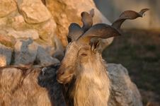 Free Mountain Goat Royalty Free Stock Images - 14451819