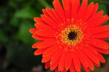Free Orange-Red Chrysanthemum Stock Photography - 14452212