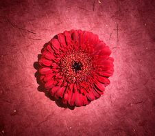 Free Perfect Red Gerbera Royalty Free Stock Image - 14452476