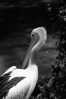 Pelican Against The Current River Royalty Free Stock Photos