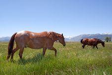 Free Horses Grazing Stock Photos - 14452863
