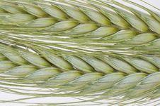 Free Wheat Royalty Free Stock Photo - 14453015