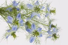 Free Blue Flowers Royalty Free Stock Photo - 14453035