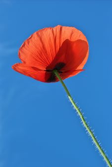 Free Poppy In Sky Royalty Free Stock Photo - 14453495