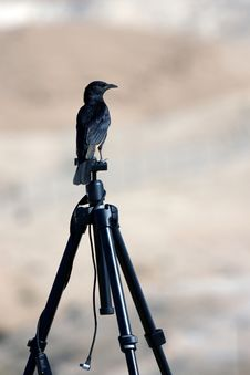 Free Raiven On Tripod Stock Images - 14453584