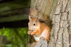 Free Red Squirrel Royalty Free Stock Photos - 14453668