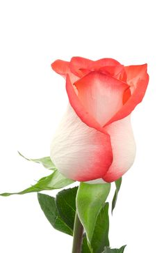 Free Rose Stock Photography - 14454022