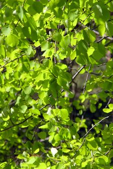 Free Spring Green Leaves Stock Photography - 14454072