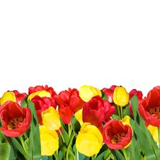 Free Tulips Royalty Free Stock Photography - 14454237