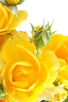 Free Yellow Roses Stock Images - 14454374