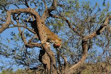 Namibie Leopard Stock Image