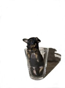 Cub Of Russian Toy Terrier Royalty Free Stock Photos