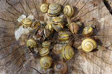 Pomatia Snails Stock Images