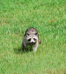 Free Raccoon Stock Photo - 14456370
