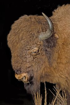 Free An American Buffalo Aka Bison Stock Images - 14456694