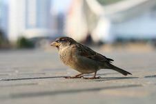 Free Sparrow Royalty Free Stock Photos - 14456718
