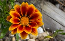 Free Tiger Flower With Log Stock Photography - 14456962
