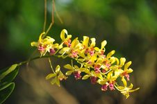 Free Orchid Royalty Free Stock Image - 14457416