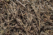 Free Pine Needles Stock Photo - 14457430