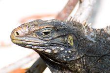 Free Iguana Royalty Free Stock Image - 14458256