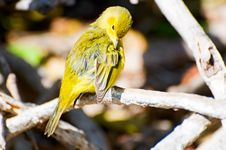 Free Warbler Royalty Free Stock Photography - 14458257