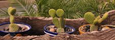 Free My Little Cactus Garden Royalty Free Stock Photos - 14458748