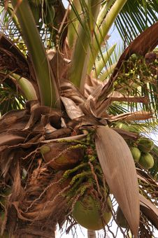 Free Growing Coconuts Royalty Free Stock Photography - 14458797