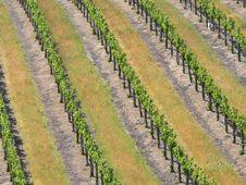 Free Grape Vines Stock Photo - 14459650