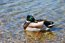Free Duck On Water - Hygiene Stock Photo - 14459660