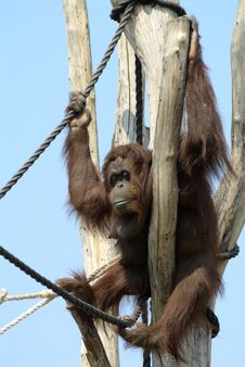 Free Orangutan Stock Image - 14459871