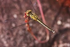 Free Dragonfly Royalty Free Stock Photo - 14459875