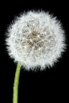 Free Blossoming Dandelion Royalty Free Stock Photography - 14459877