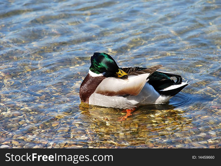 Duck on water - Hygiene