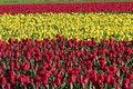 Free Tulip Field Stock Photos - 14461093