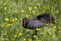 Free Common Moorhen Stock Images - 14465004